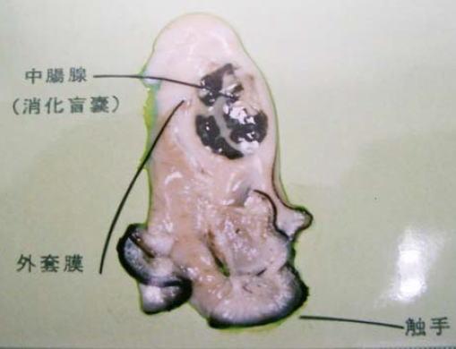 牡蠣の中腸腺が汚染